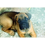 Shadow  - Italian Mastiff