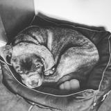 NELSON D'ASCAIN - Italian Mastiff