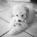 Kira - Poodle
