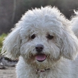 Daisy - Poodle