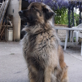BOULETTE - Estrela Mountain Dog