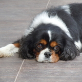 Scam - Cavalier King Charles