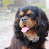 Muffin - Cavalier King Charles