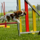 Canelle - Cavalier King Charles