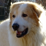 Forest ☺ - Great Pyrenees