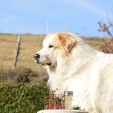Forest ☺ (65) - Great Pyrenees