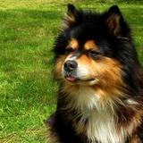 BALDWIIN ♣ - Finnish Lapphund