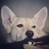 ♥ Lyra l'aventurière ♥ - Czechoslovakian Wolfdog