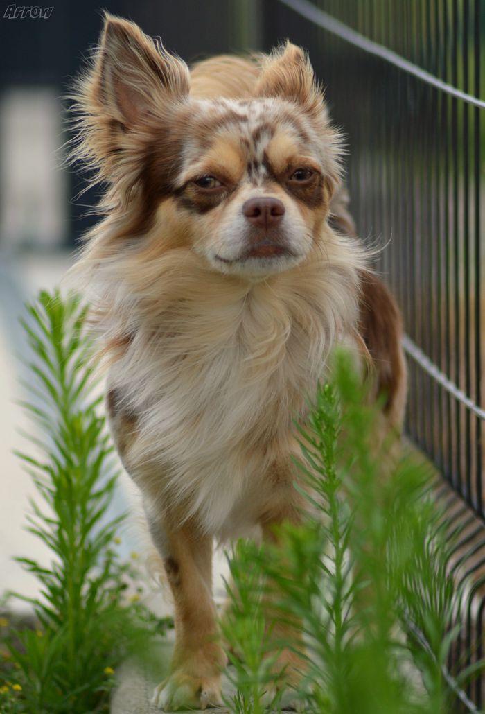 Arrow - Chihuahua