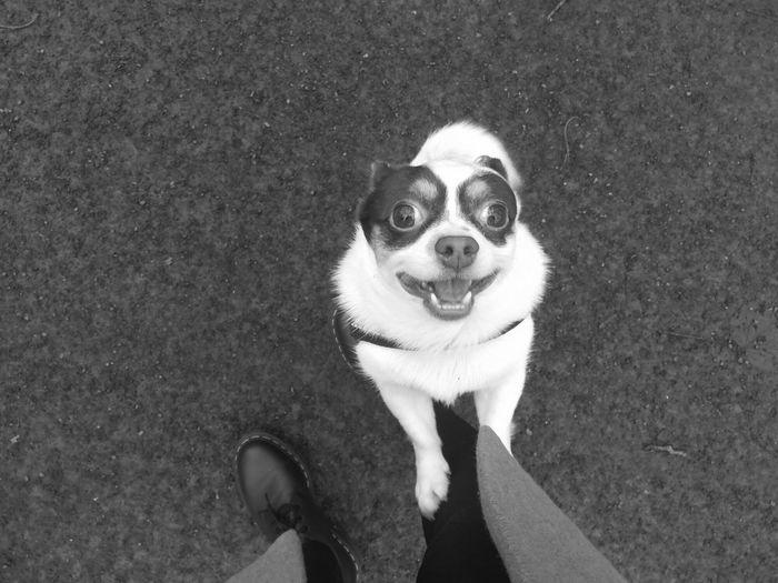 Jojo - Chihuahua