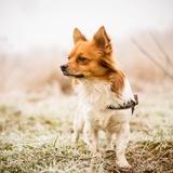 Meïko - Chihuahua