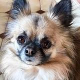 Japha - Chihuahua