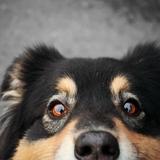 Judy🌹 - Chihuahua