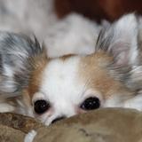 Gizmo♥ (/(°ᴥ°)\)  - Chihuahua