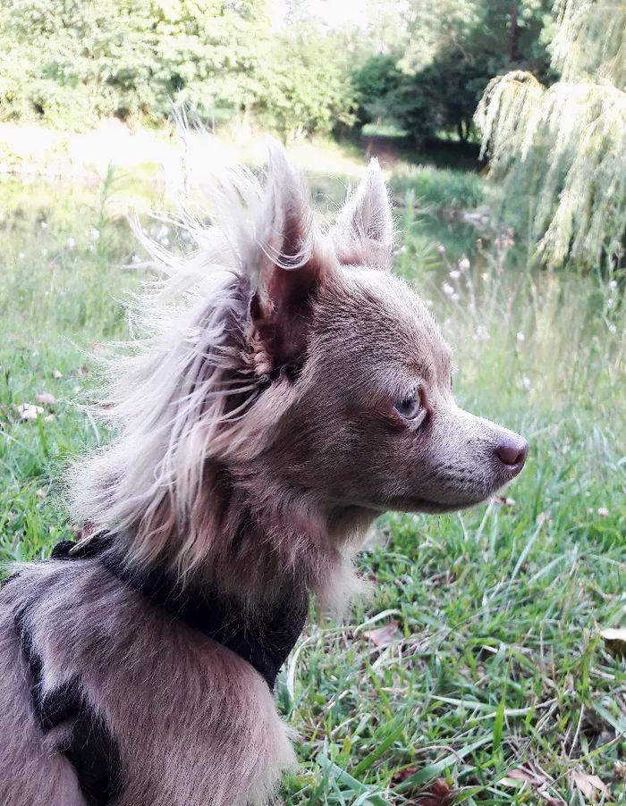 Milo & Co 🐶 - Chihuahua