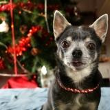 Juliy - Chihuahua