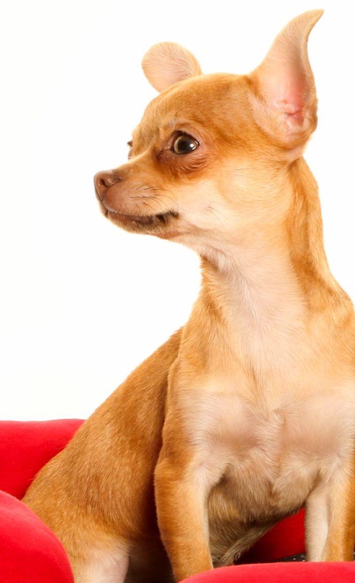Neïdy - Chihuahua