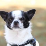Gizmo♥(/(°ᴥ°)\)♥Jarod - Chihuahua