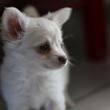 Luna - Chihuahua