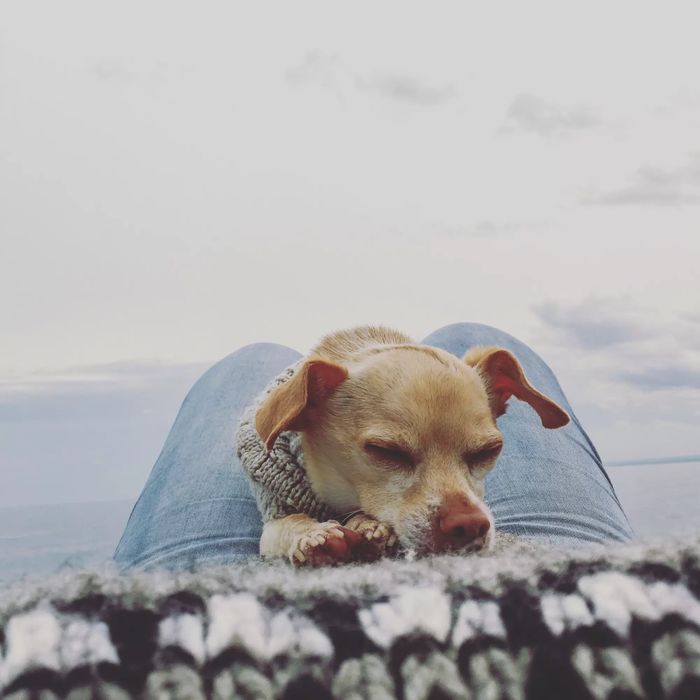 Buckminster - Chihuahua