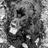 Fiby & Jena - English Cocker Spaniel