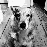 Bêta - Czechoslovakian Wolfdog