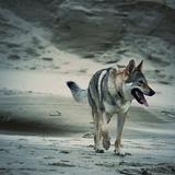Joker - Czechoslovakian Wolfdog