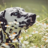 Pongo & Cie - Dalmatian