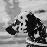 Lucky - Dalmatian