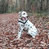 Ixos Au bonheur des Peuches - Dalmatian