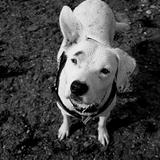 Rollie - Dogo Argentino