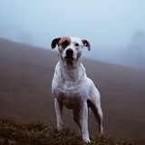 Milan - Dogo Argentino