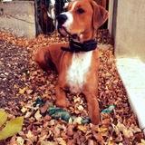 Alvin - Dogo Argentino