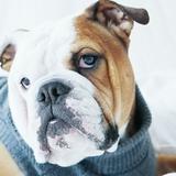 Junior - English Bulldog