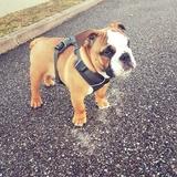 Raymond - English Bulldog