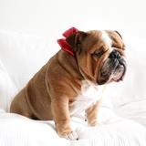 Woody - English Bulldog