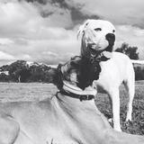 Jack - English Mastiff