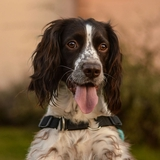 Balto et Nouna - English Springer Spaniel
