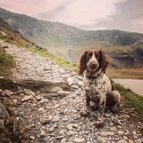 Dillon - English Springer Spaniel