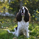Holly - English Springer Spaniel