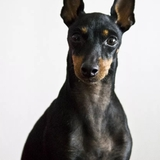 Youkie - English Toy Terrier