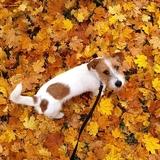 Winston - Fox Terrier