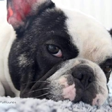 Guerlain - French Bulldog