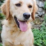 Max - Golden Retriever