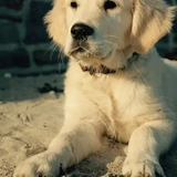 Tobby - Golden Retriever