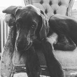 Herman - Great Dane
