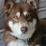 Fidji - Siberian Husky
