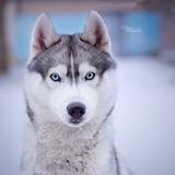 Lakota Of Watson Lake - Siberian Husky