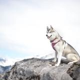 Jaïnah. ❤️ - Siberian Husky