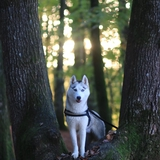 Laïka - Siberian Husky